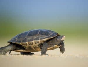 Arrau Schildkröte